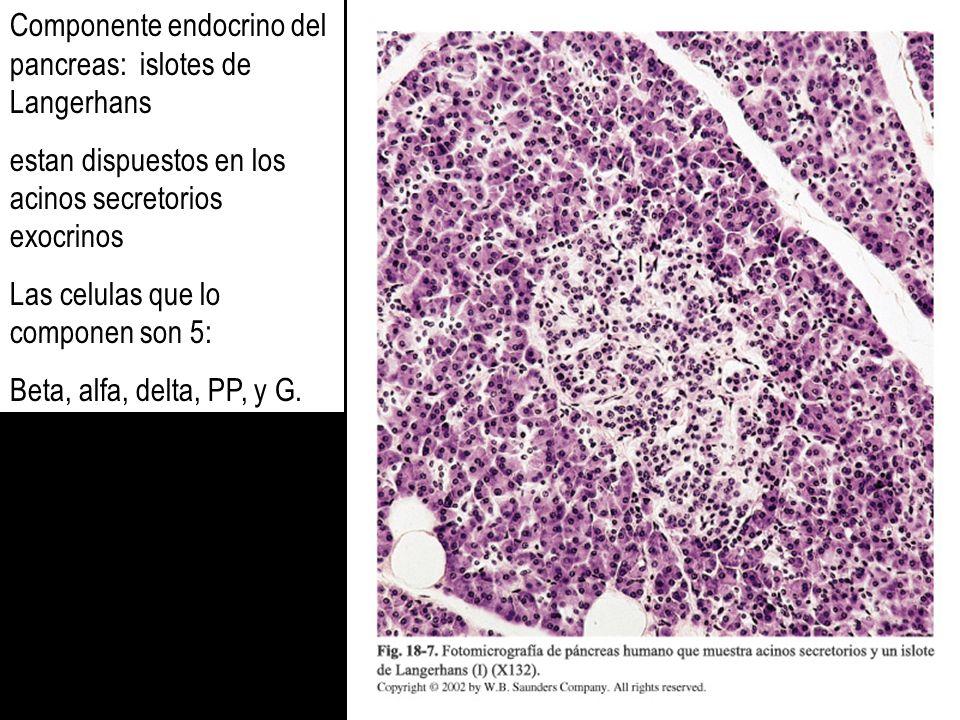 Componente endocrino del pancreas: islotes de Langerhans