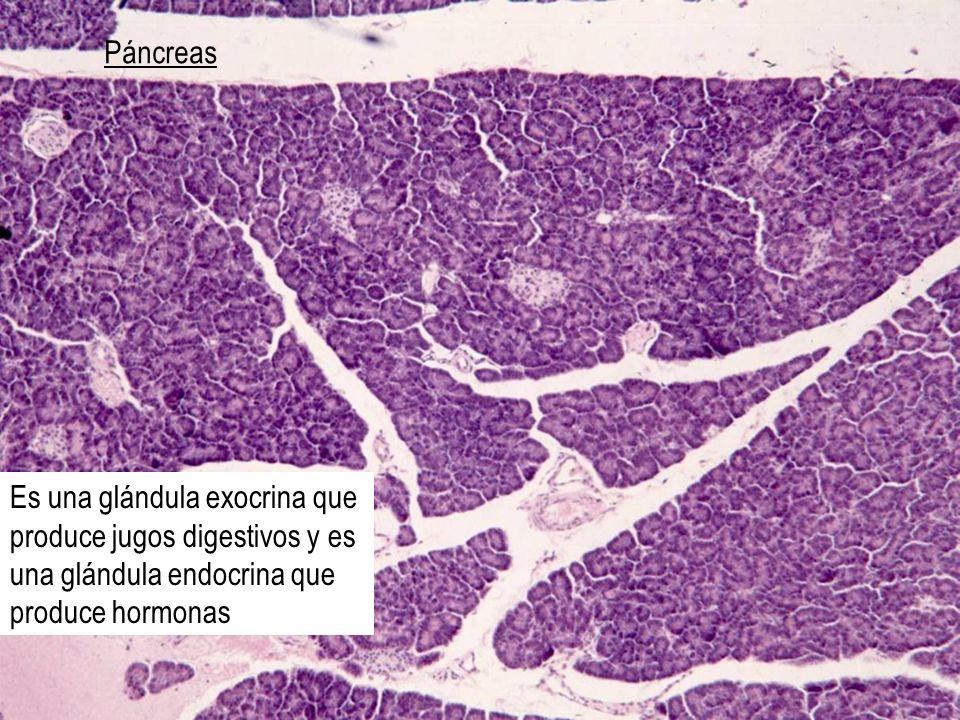 Páncreas Es una glándula exocrina que produce jugos digestivos y es una glándula endocrina que produce hormonas.