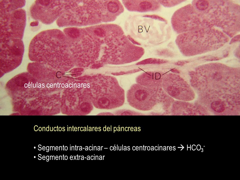 células centroacinares