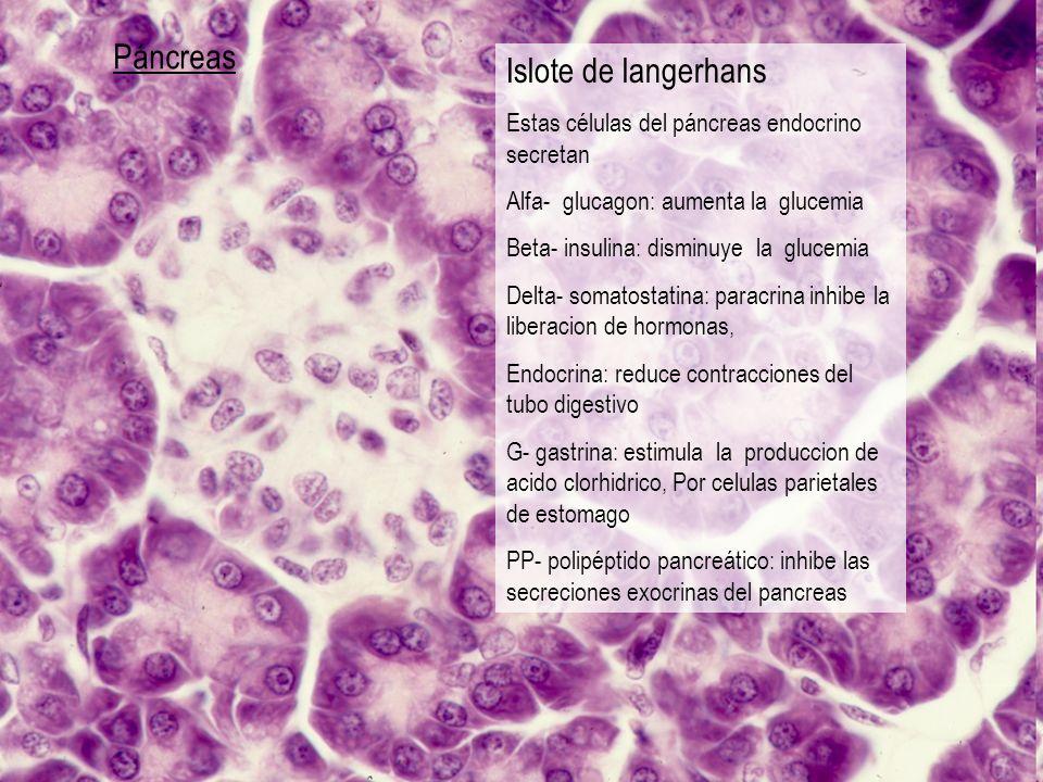Páncreas Islote de langerhans