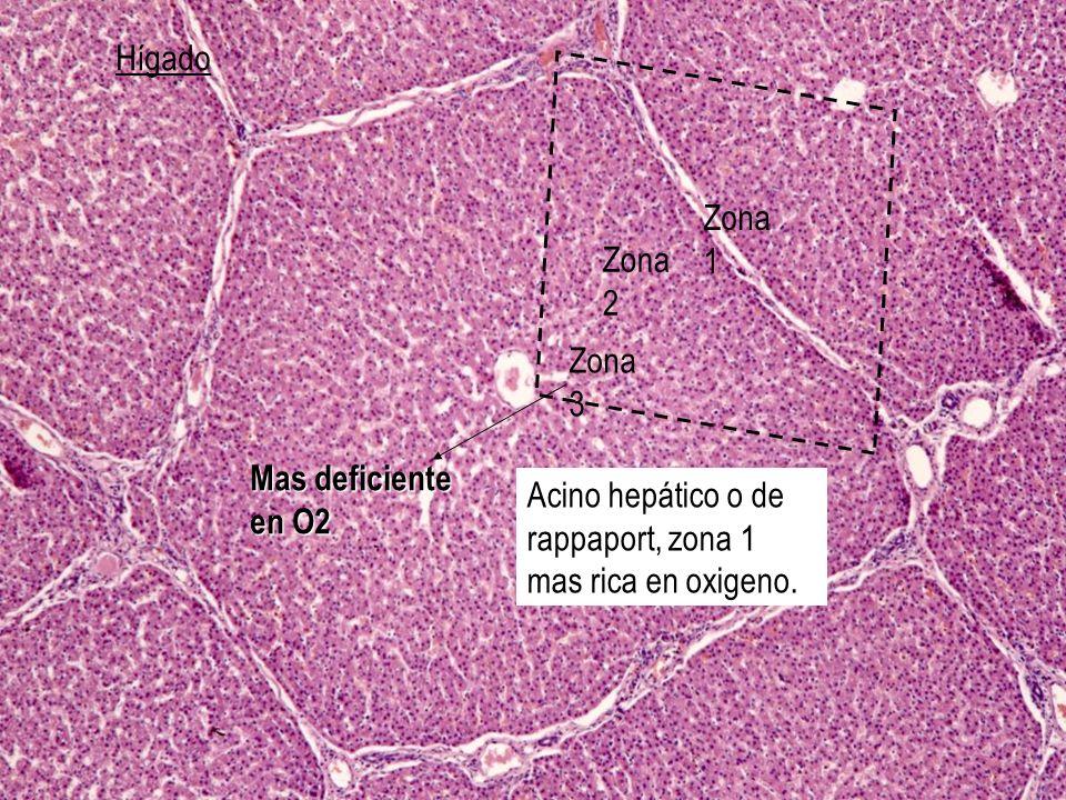 Hígado Zona 1. Zona 2. Zona 3. Mas deficiente en O2.