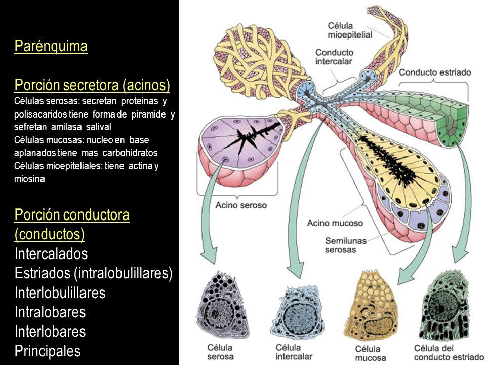 Porción secretora (acinos)