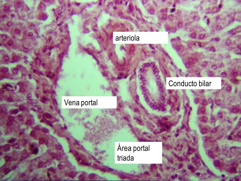 arteriola Conducto bilar Vena portal Área portal triada