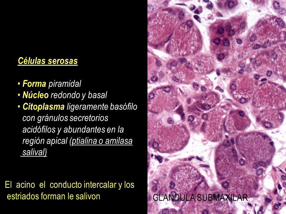 Células serosas Forma piramidal. Núcleo redondo y basal. Citoplasma ligeramente basófilo. con gránulos secretorios.