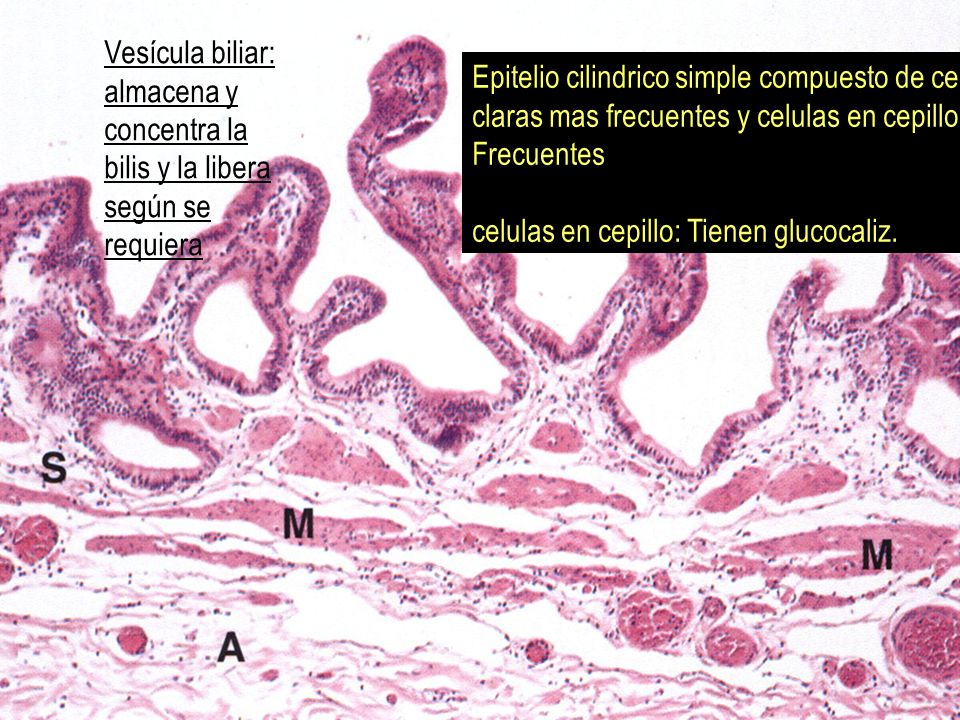 Vesícula biliar: almacena y concentra la bilis y la libera según se requiera