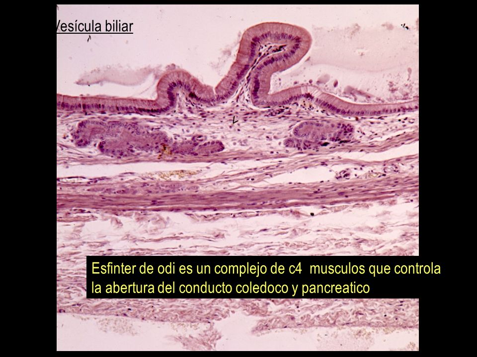 Vesícula biliar Esfinter de odi es un complejo de c4 musculos que controla.