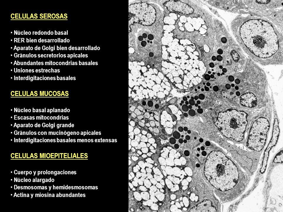 CELULAS MIOEPITELIALES