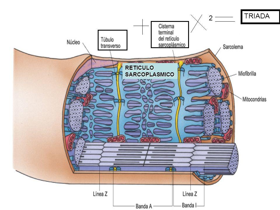 TRIADA 2 RETICULO SARCOPLASMICO