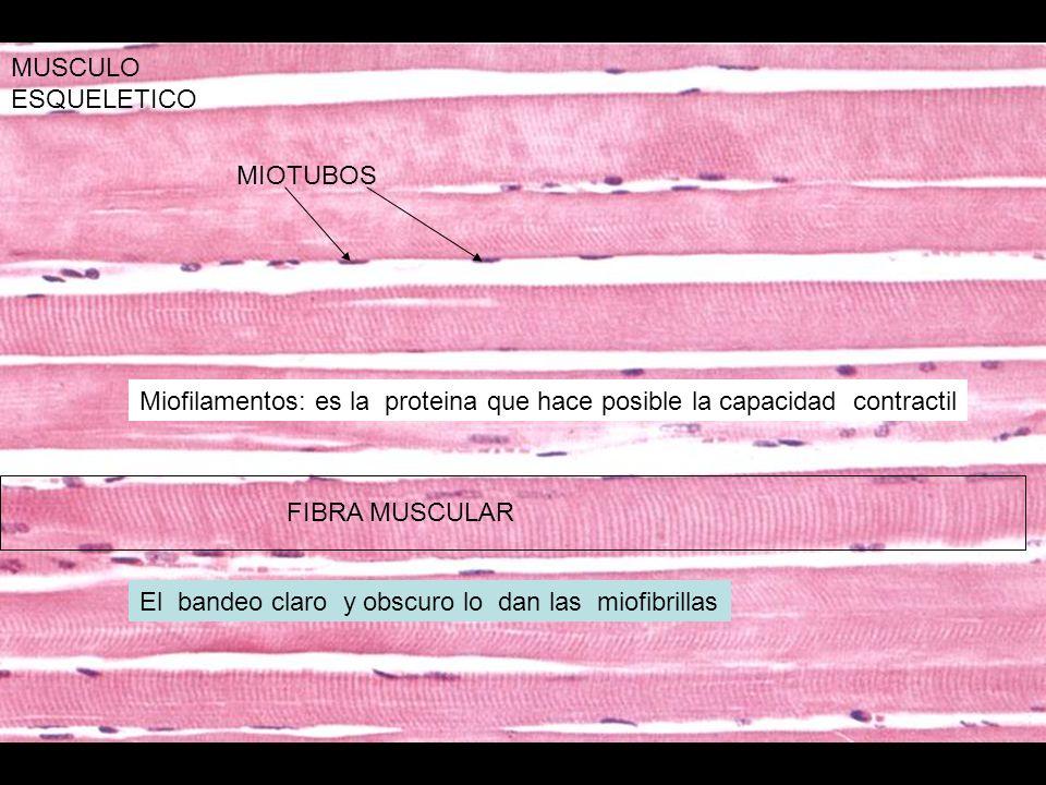 MUSCULO ESQUELETICO MIOTUBOS. Miofilamentos: es la proteina que hace posible la capacidad contractil.