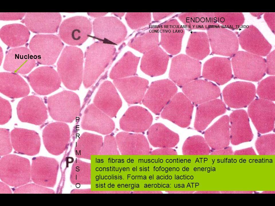 las fibras de musculo contiene ATP y sulfato de creatina