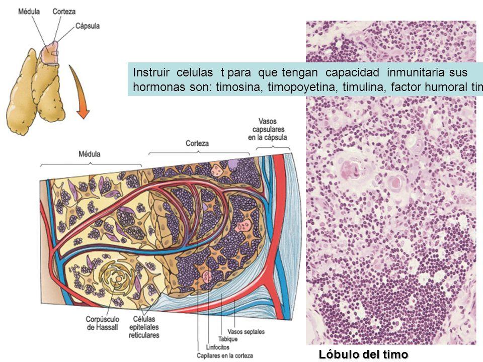 Instruir celulas t para que tengan capacidad inmunitaria sus