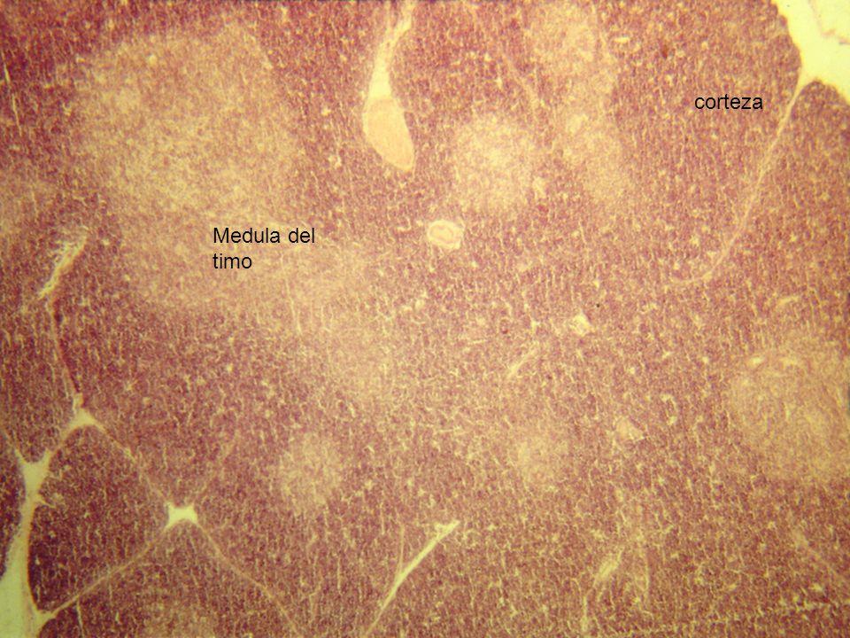 corteza Medula del timo