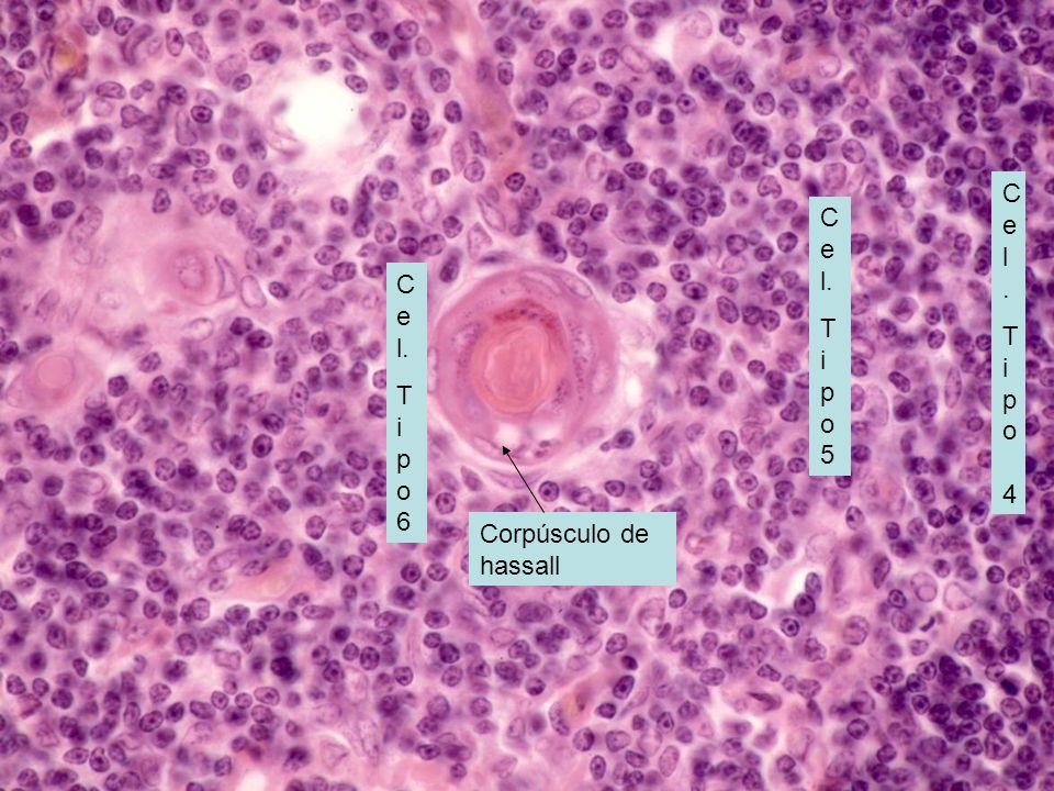 MEDULA DEL TIMO:Linfocitos T maduros o inocentes; hay otros 3 tipos de cel endoteliales reticulares tipo 4, 5 y 6.