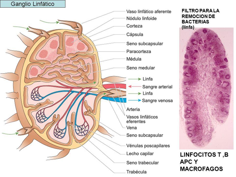 LINFOCITOS T ,B APC Y MACROFAGOS
