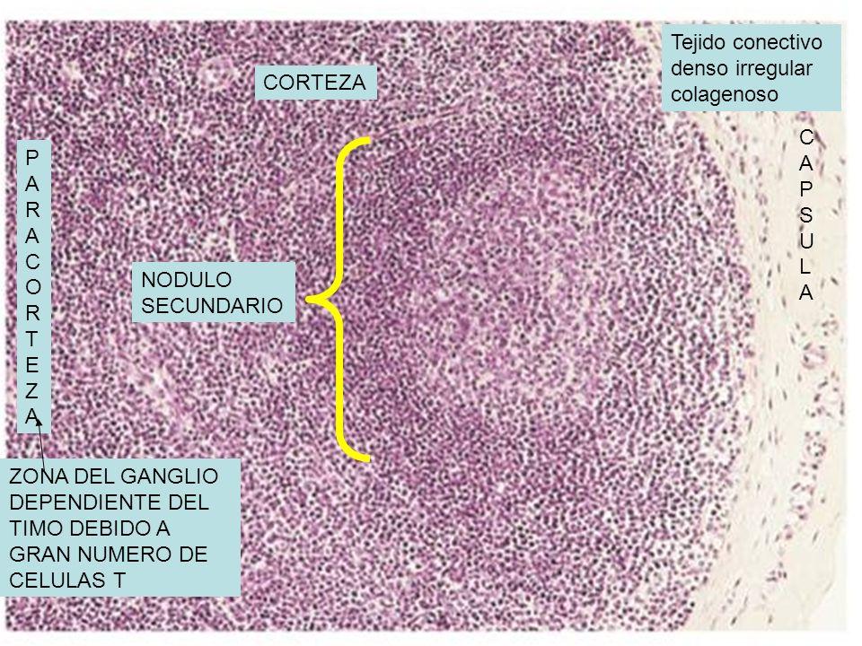 Tejido conectivo denso irregular colagenoso