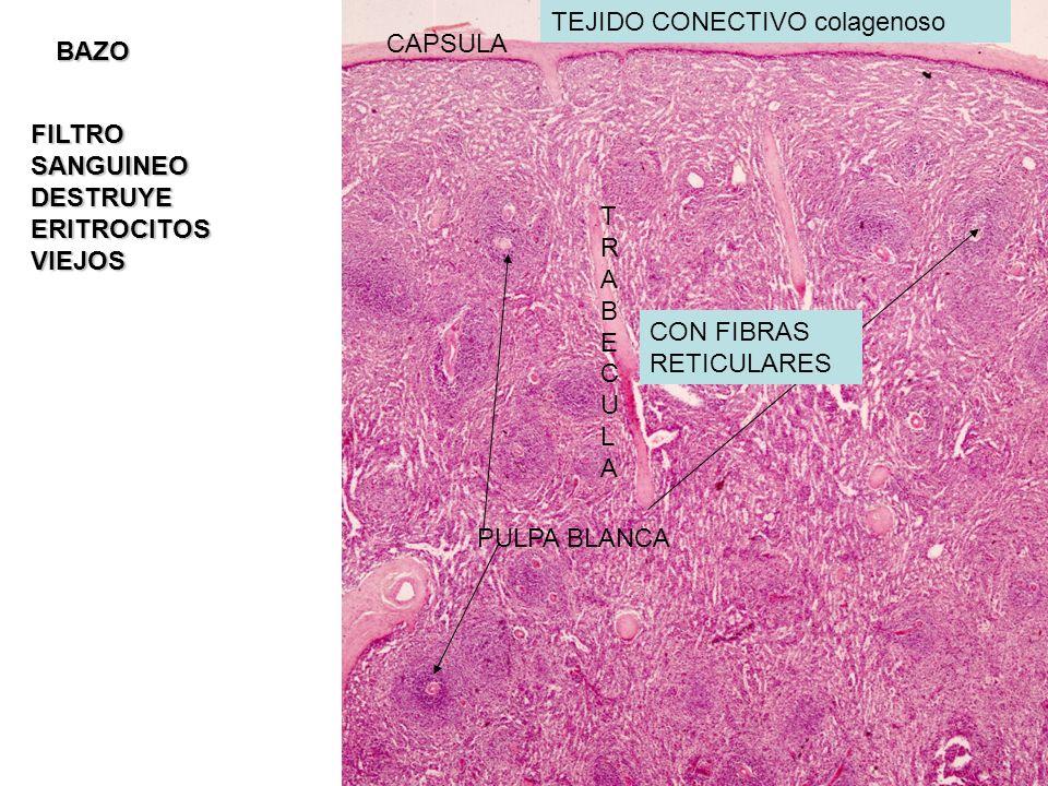 TEJIDO CONECTIVO colagenoso