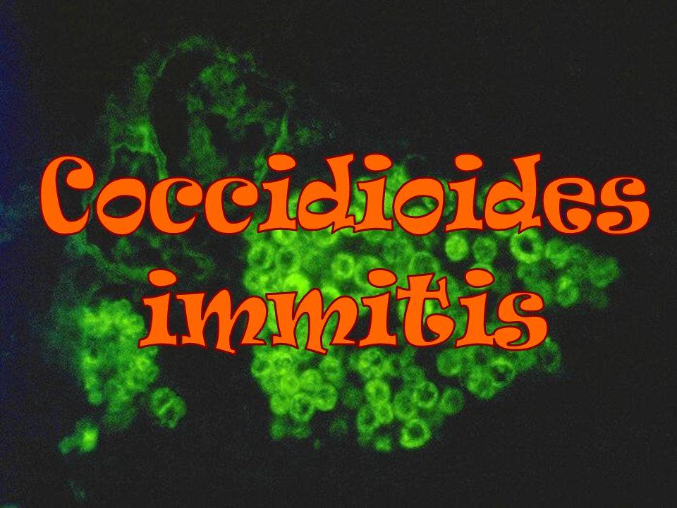 Coccidioides immitis