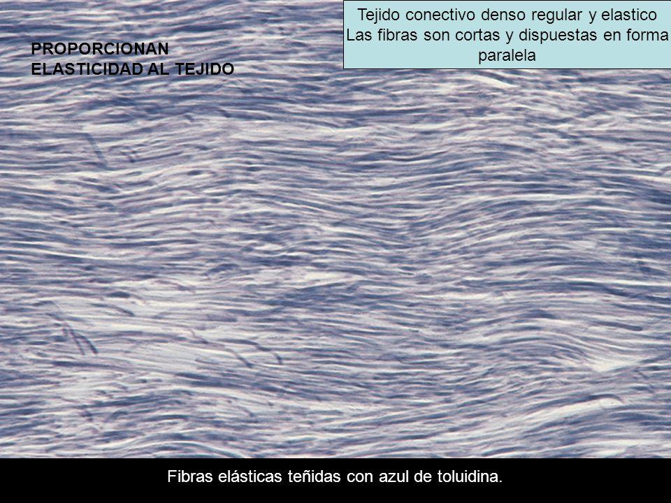 Tejido conectivo denso regular y elastico