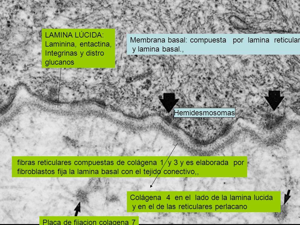 LAMINA LÚCIDA:Laminina, entactina, Integrinas y distro. glucanos. Membrana basal: compuesta por lamina reticular.