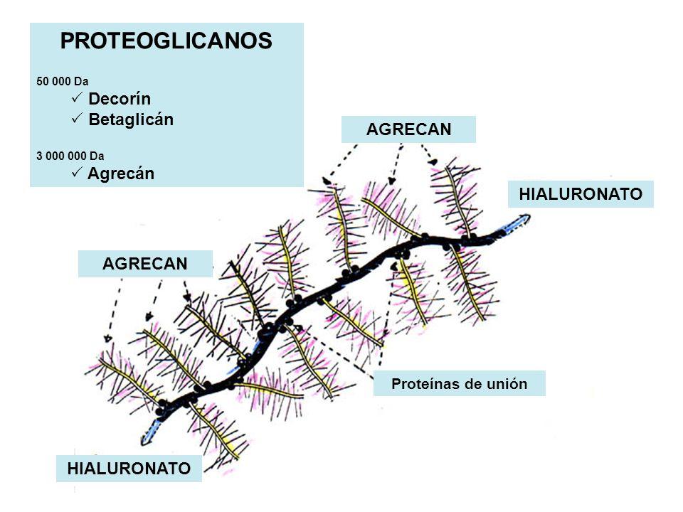 PROTEOGLICANOS Decorín Betaglicán Agrecán AGRECAN HIALURONATO
