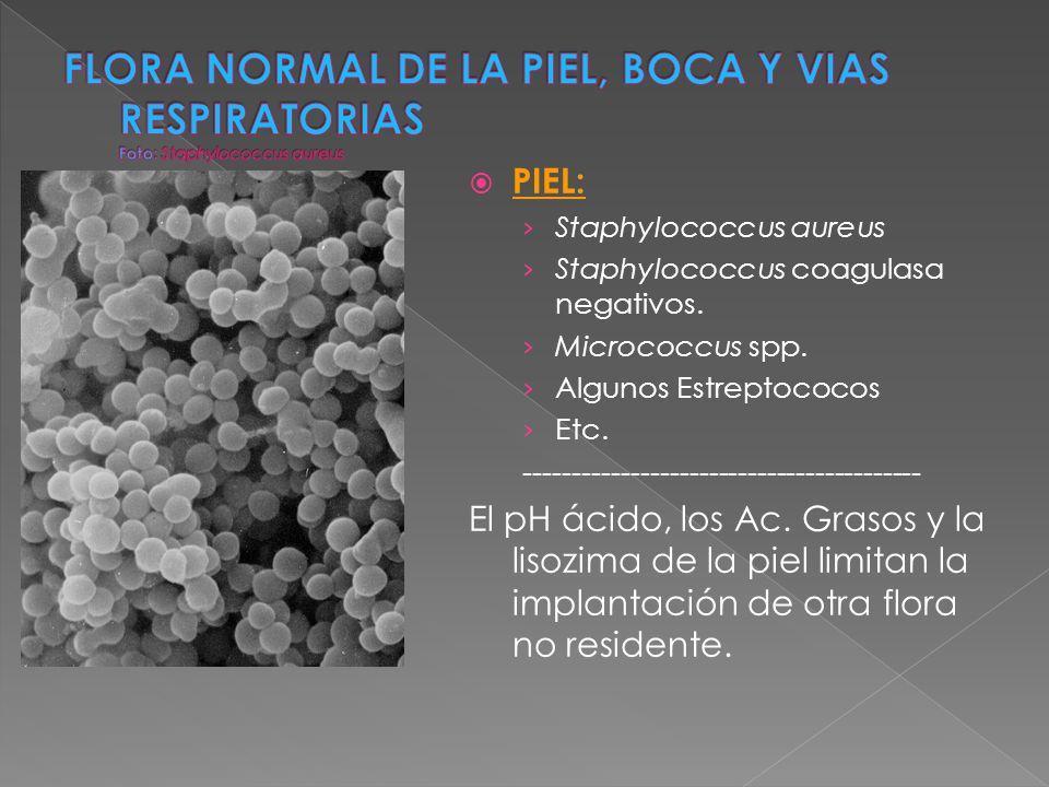 FLORA NORMAL DE LA PIEL, BOCA Y VIAS RESPIRATORIAS Foto: Staphylococcus aureus