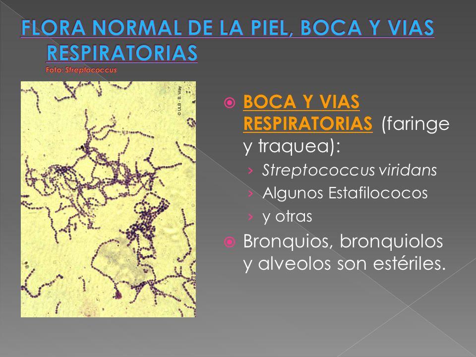 FLORA NORMAL DE LA PIEL, BOCA Y VIAS RESPIRATORIAS Foto: Streptococcus