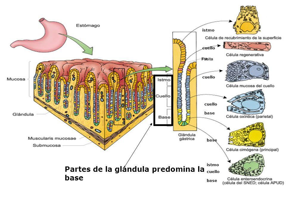 Partes de la glándula predomina la base