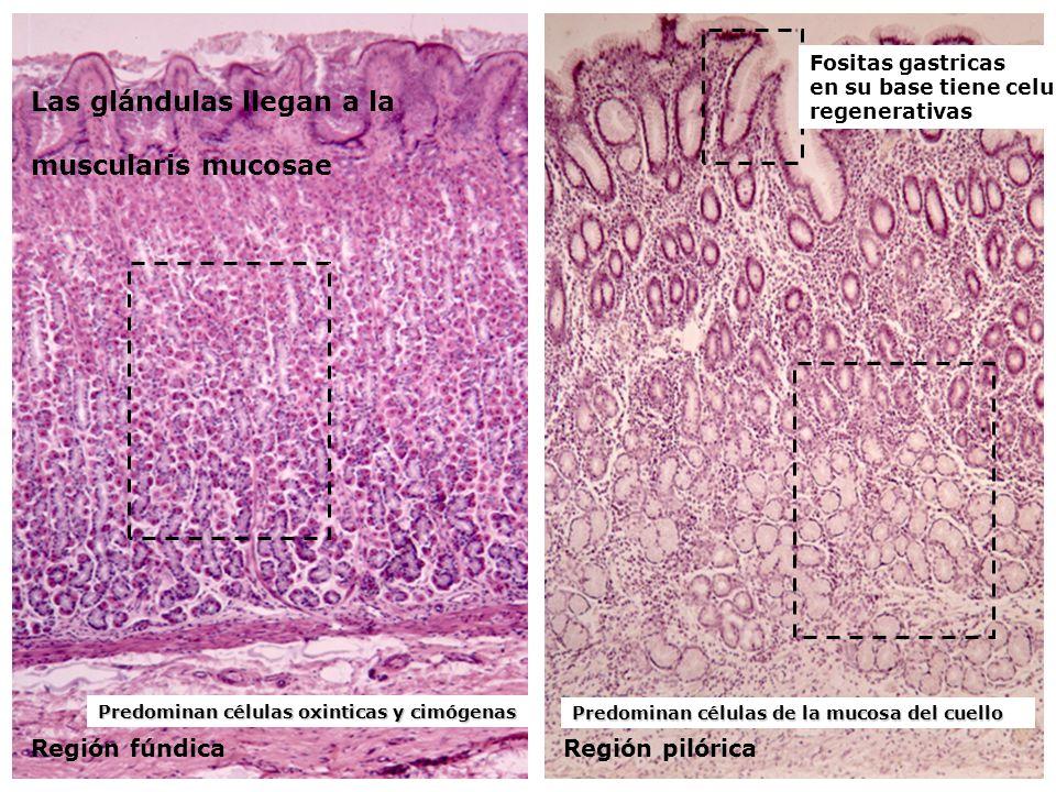 Las glándulas llegan a la muscularis mucosae