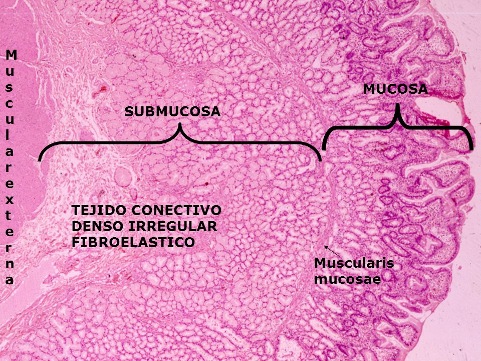 Muscular externa MUCOSA SUBMUCOSA TEJIDO CONECTIVO DENSO IRREGULAR FIBROELASTICO Muscularis mucosae