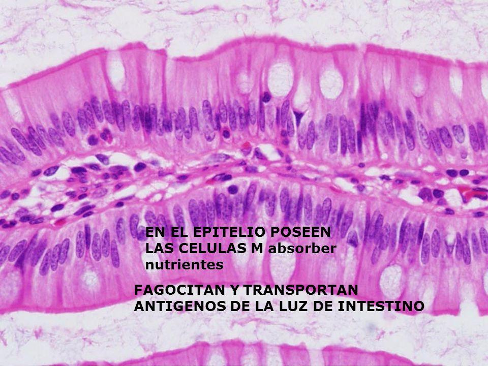 EN EL EPITELIO POSEEN LAS CELULAS M absorber nutrientes