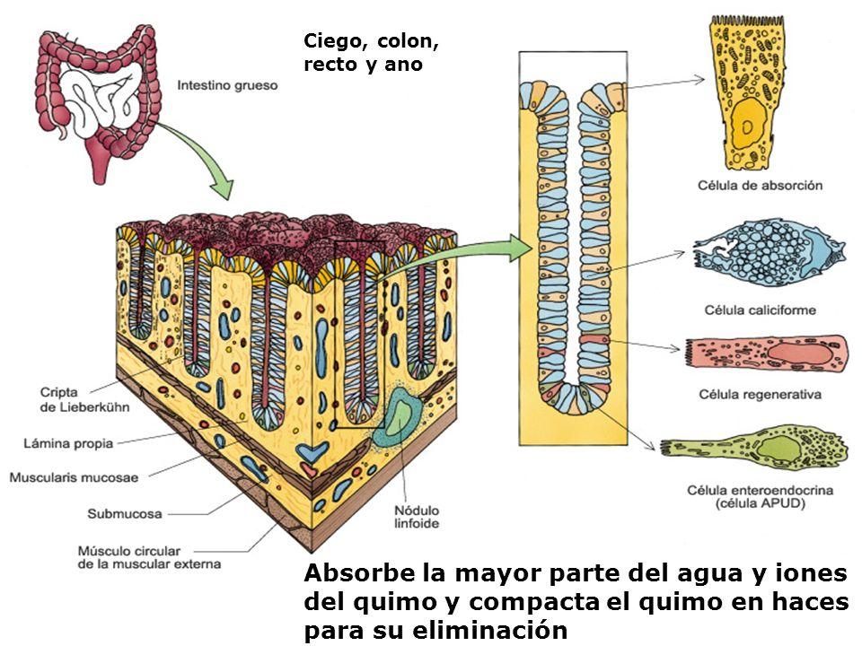 Ciego, colon, recto y anoAbsorbe la mayor parte del agua y iones del quimo y compacta el quimo en haces para su eliminación.