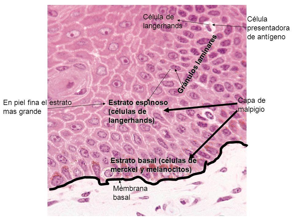 Célula de langerhands Célula presentadora de antígeno. Gránulos laminares. Capa de malpigio. En piel fina el estrato mas grande.