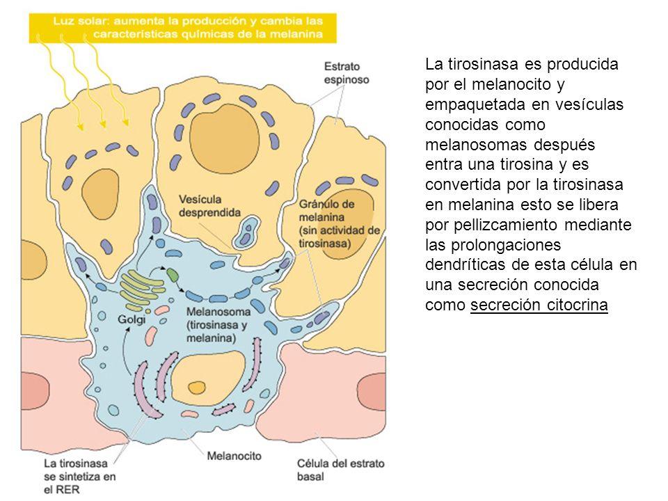 La tirosinasa es producida por el melanocito y empaquetada en vesículas conocidas como melanosomas después entra una tirosina y es convertida por la tirosinasa en melanina esto se libera por pellizcamiento mediante las prolongaciones dendríticas de esta célula en una secreción conocida como secreción citocrina