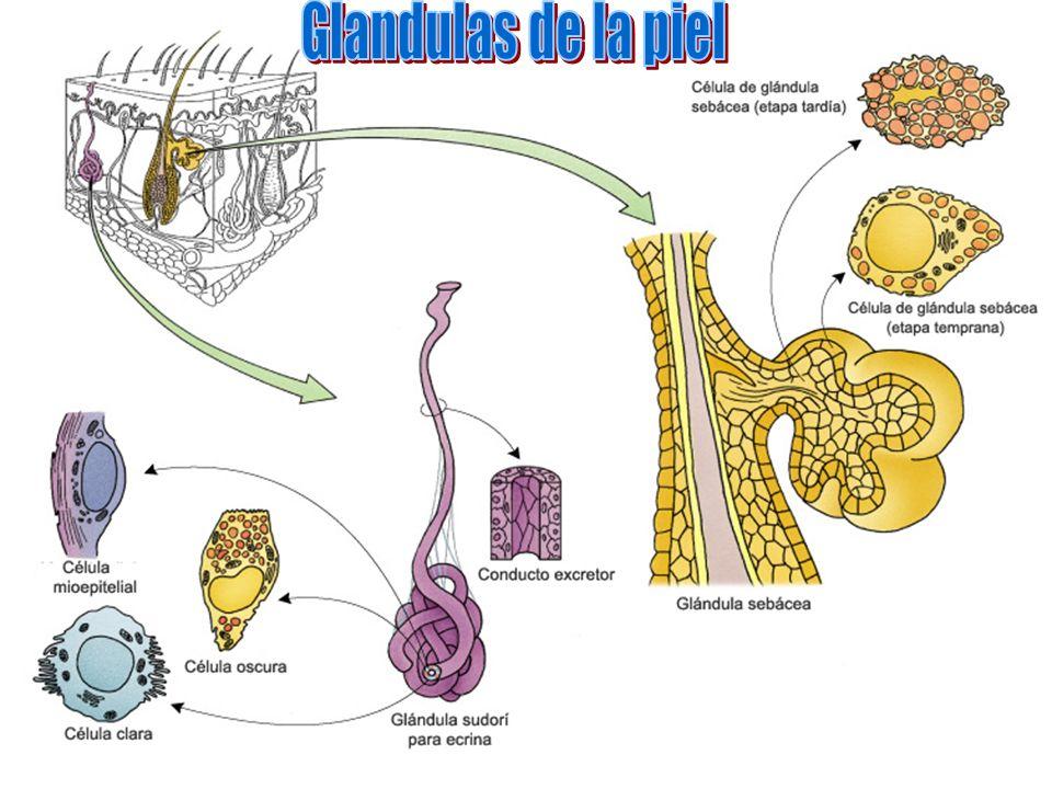 Glandulas de la piel