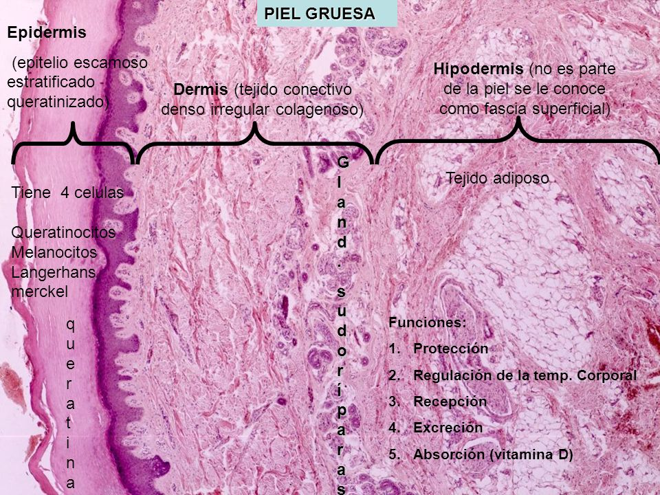 Dermis (tejido conectivo denso irregular colagenoso)