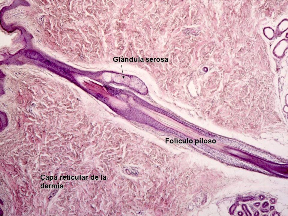 Glándula serosa Folículo piloso Capa reticular de la dermis