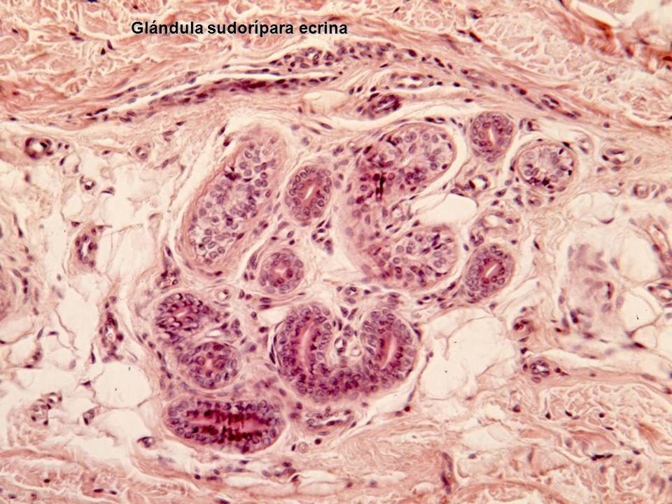Glándula sudorípara ecrina