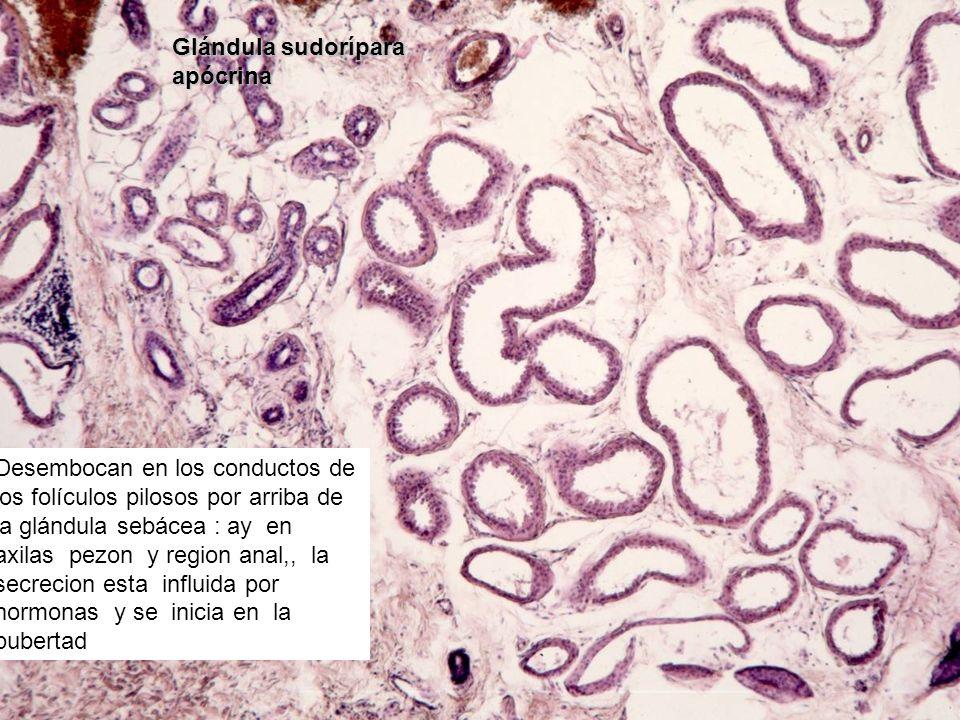 Glándula sudorípara apócrina