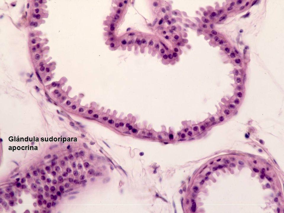 Glándula sudorípara apocrina