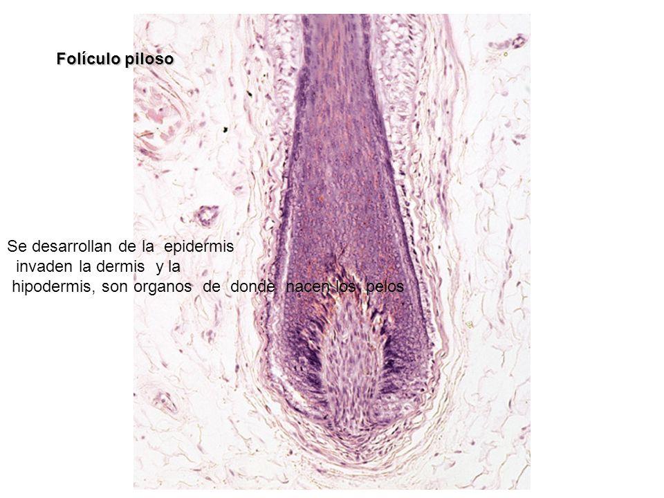 Folículo piloso Se desarrollan de la epidermis. invaden la dermis y la.