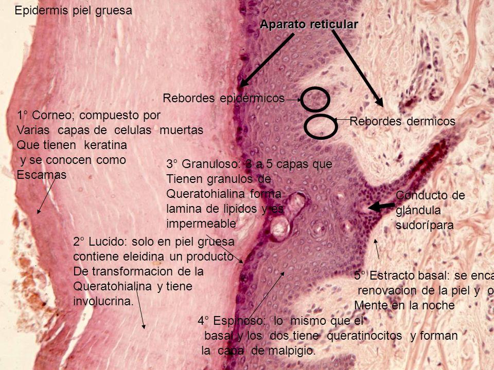 Epidermis piel gruesa Aparato reticular. Rebordes epidérmicos. 1° Corneo; compuesto por. Varias capas de celulas muertas.