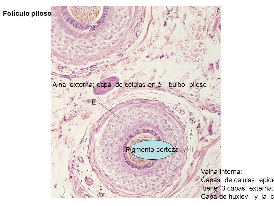 Folículo piloso Aina externa; capa de celulas en el bulbo piloso. Pigmento corteza. Vaina interna: