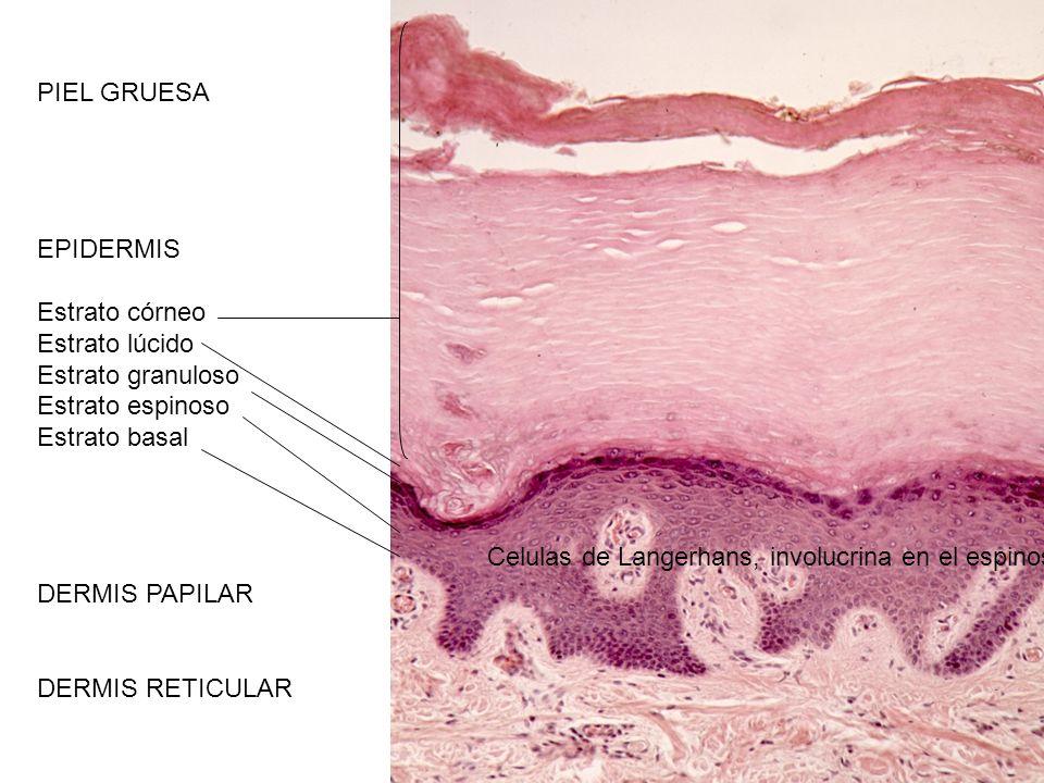 PIEL GRUESA EPIDERMIS. Estrato córneo. Estrato lúcido. Estrato granuloso. Estrato espinoso. Estrato basal.