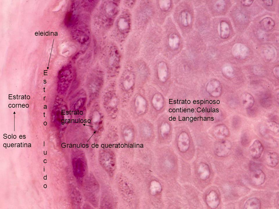 eleidina Estrato. lucido. Estrato corneo. Estrato espinoso contiene:Células de Langerhans. Estrato granuloso.