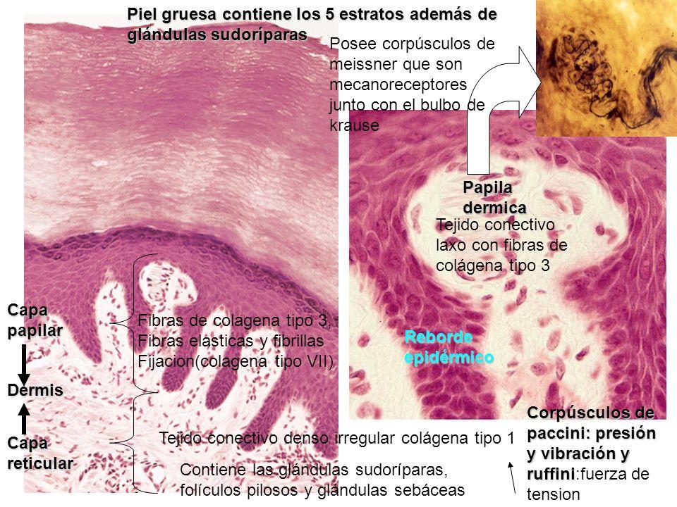 Piel gruesa contiene los 5 estratos además de glándulas sudoríparas