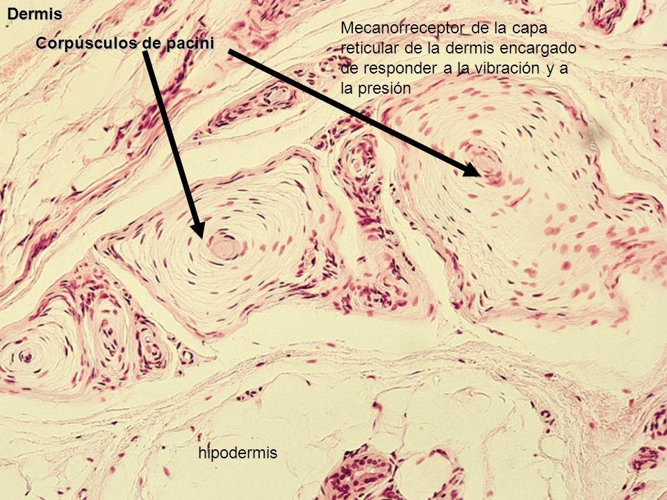 Dermis Mecanorreceptor de la capa reticular de la dermis encargado de responder a la vibración y a la presión.