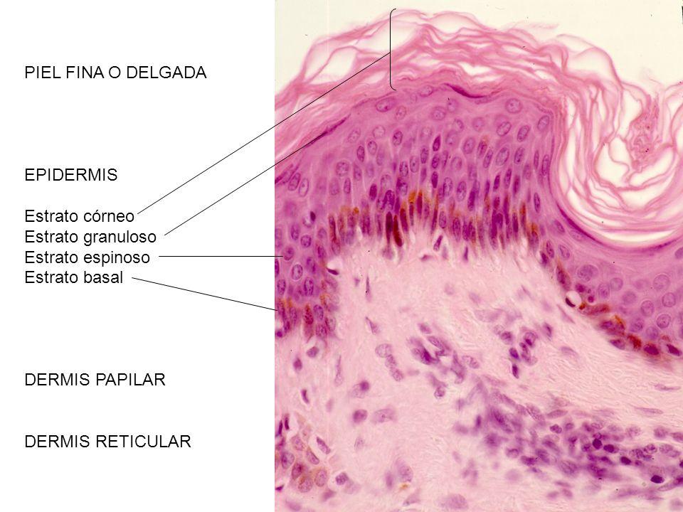 PIEL FINA O DELGADA EPIDERMIS. Estrato córneo. Estrato granuloso. Estrato espinoso. Estrato basal.