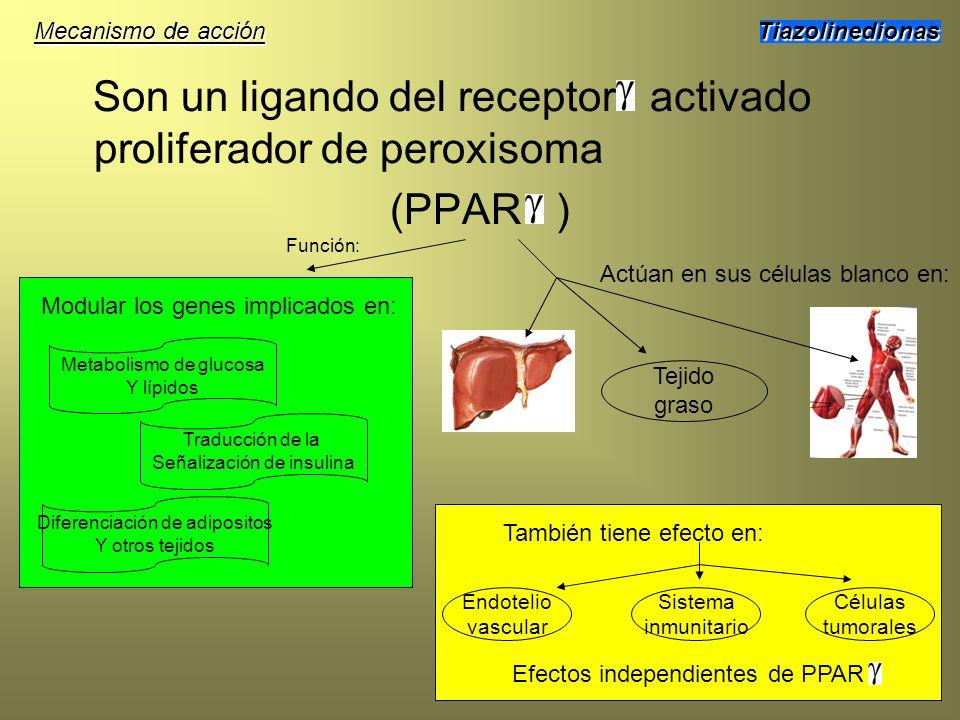 Son un ligando del receptor activado proliferador de peroxisoma