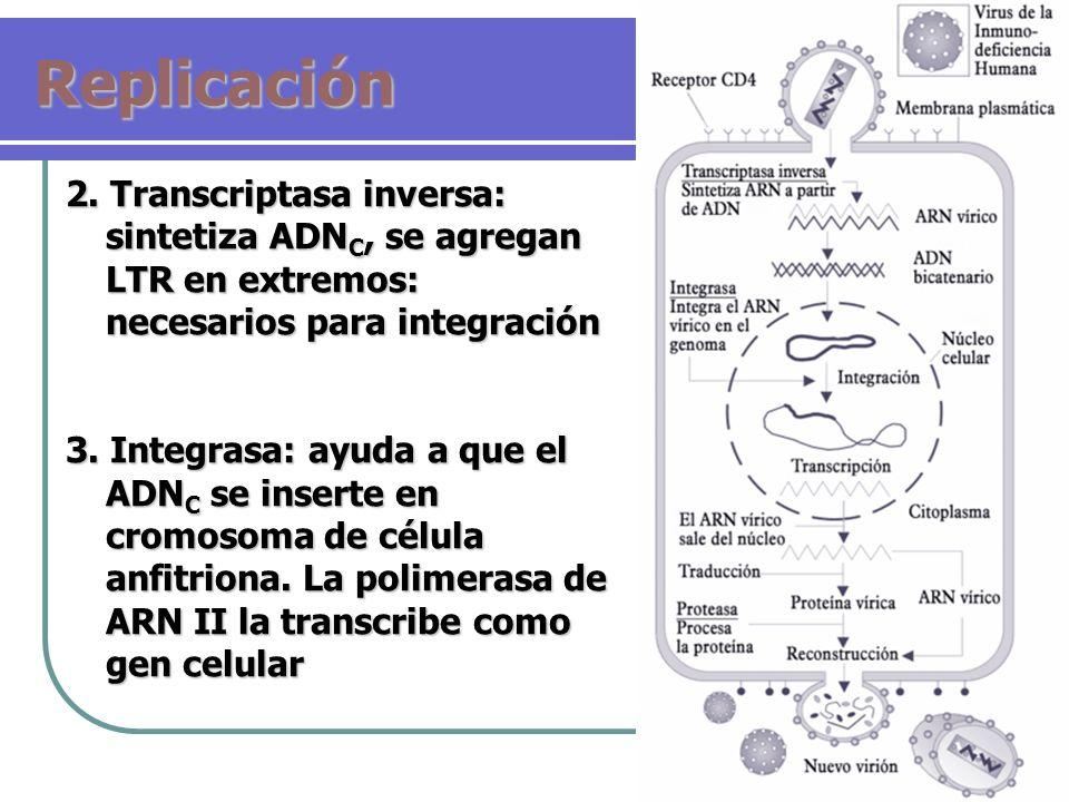 Replicación 2. Transcriptasa inversa: sintetiza ADNC, se agregan LTR en extremos: necesarios para integración.
