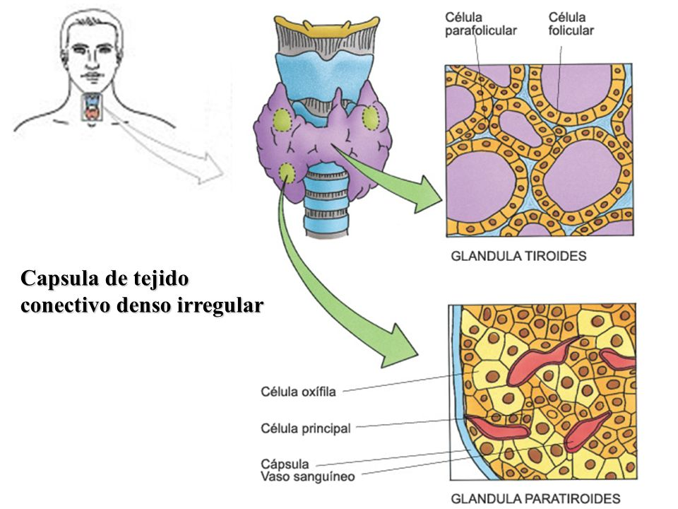 Capsula de tejido conectivo denso irregular